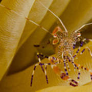 Spotted Cleaner Shrimp On Anemone Poster