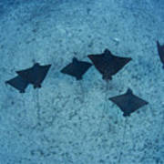 Spotted Eagle Rays Poster by Dave Fleetham - Printscapes