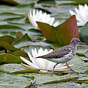 Spotted Sandpiper And Lilies Poster