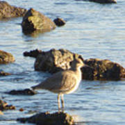 Spotted Sandpiper Keeping Sentry On The Bay Poster