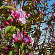 Spring Apple Blossoms- Spring Flowers Poster