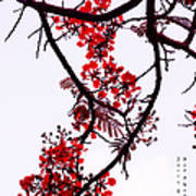 Spring Blossom In Maldives. Flamboyant Tree Poster