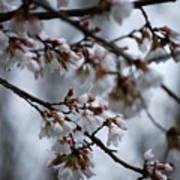 Spring Blosssoms Poster