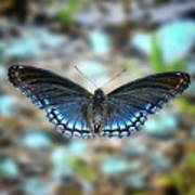 White Admiral Or Red-spotted Purple Poster