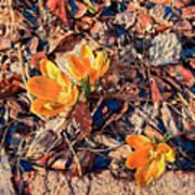 Spring Crocus Flower Poster