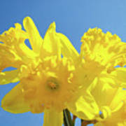 Spring Daffodils Flowers Garden Blue Sky Baslee Troutman Poster