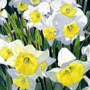 Spring- Daffodils Poster