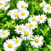 Spring Daisy In The Meadow Poster