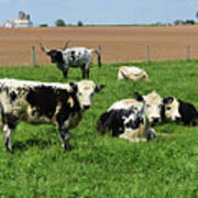 Spring Day With Cows On An Amish Cattle Farm Poster