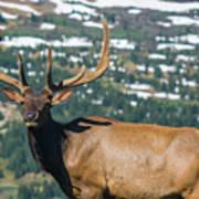 Spring Elk Poster