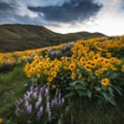 Balsamroot Explosion In Boise Idaho Usa Poster