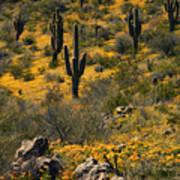 Spring In The Sonoran Desert  Poster