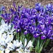 Spring Japanese Iris Poster