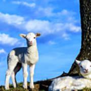 Spring Lambs Evening Light Poster