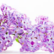 Spring Lilac Flowers Blooming Isolated On White Poster