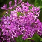 Spring Lilacs On Black Poster