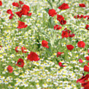 Spring Meadow With Poppy And Chamomile Flowers Poster