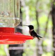 Spring Migration Hummingbird Poster