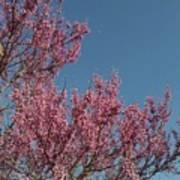 Spring Redbud Tree Poster