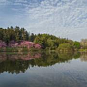 Spring Redbud Trees Poster