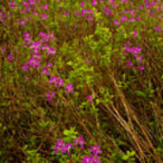 Spring Rhodora Blossoms Poster