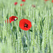 Spring Scene Green Wheat And Poppy Flowers Poster