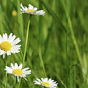 Spring Scene White Wild Flowers Poster