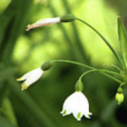 Spring Snowdrops Poster
