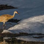 Spring Sunset With Sandhill Crane Poster