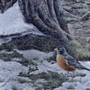 Spring Thaw - American Robin Poster