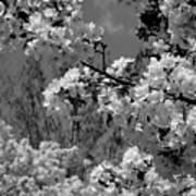 Spring Trees - B And W Poster