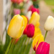 Spring Tulips Poster