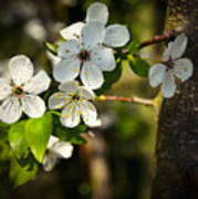 Spring Twig With White Florets Poster