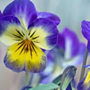 Spring Violas Poster