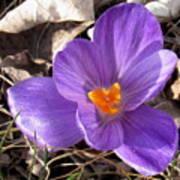Spring Violet Poster