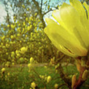 Spring. Yellow Magnolia Flower Poster