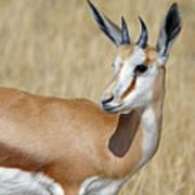 Springbok Portrait Poster