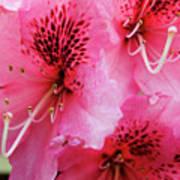 Springtime Azalea Poster
