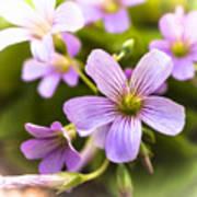 Springtime Blooms Violet Wood Sorrel 3 Poster