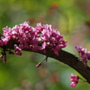 Springtime Forest Pansy Redbud Branch Poster