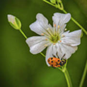 Springtime Ladybug Poster