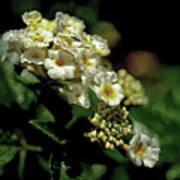 Sprinkles On Lantana Flower Poster