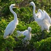 Squawk Of The Great Egret Poster