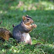 Squirrel Eating A Nut - Eugene Oregon Poster