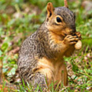 Squirrel Eating A Peanut Poster by James Marvin Phelps