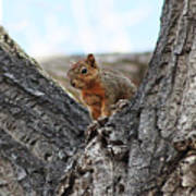 Squirrel In Cottonwood Tree Poster
