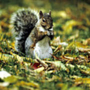 Squirrel In Leaves Poster