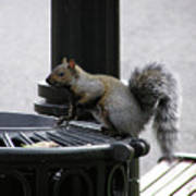Squirrel On Garbage Can Poster by Richard Mitchell