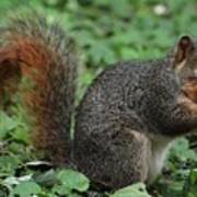 Squirrel Portrait # 6 Poster