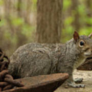 Squirrel With Anchor Poster